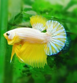 Cara Merawat Ikan Cupang Agar Warna Bagus